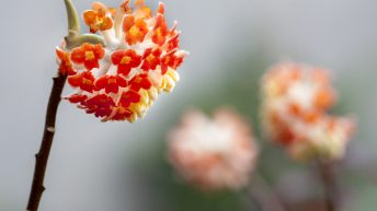 Bee and Edgeworthia chrysantha Red Dragon