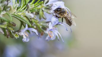 Bee and Rosemary
