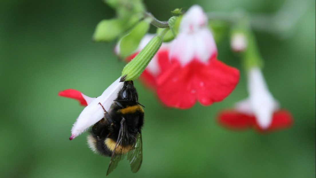 Bee and Salvia Hot lips